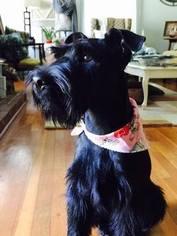 Schnauzer (Standard) Puppy For Sale in GREER, SC