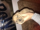 Dachshund Puppy For Sale in CLARITA, Oklahoma,