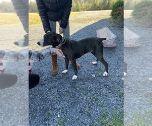 Mountain Cur Dogs for adoption in DILLWYN, VA, USA