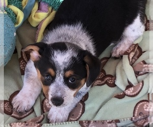 Cowboy Corgi Puppy for sale in MULINO, OR, USA