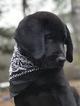 AKC Black Labrador Retriever Puppies