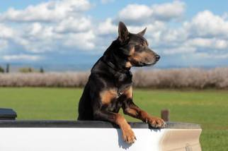 View Ad: Australian Kelpie Puppy for Sale near Idaho, EAGLE