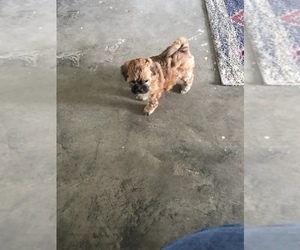 Shih-Poo Puppy for sale in CLERMONT, FL, USA