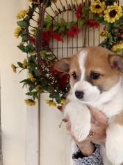 Pembroke Welsh Corgi Puppy For Sale in DOUGLASS, KS, USA