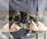 Small #1 Norwegian Elkhound