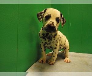 Dalmatian Puppy for sale in PATERSON, NJ, USA
