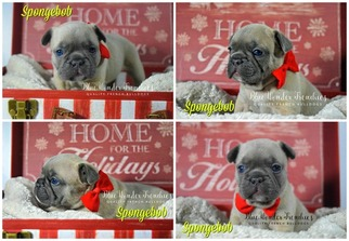 French Bulldog Puppy For Sale in LOXAHATCHEE, FL, USA