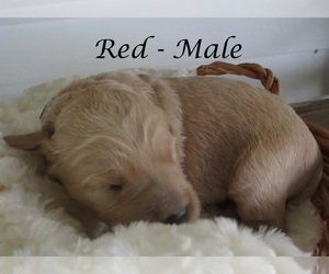 Goldendoodle Puppy for sale in PERRYSVILLE, OH, USA