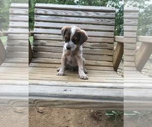 Australian Stumpy Tail Cattle Dog-Brittany Mix Puppy for sale in JETERSVILLE, VA, USA