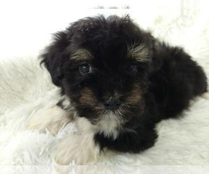 Havanese Puppy for sale in DOUGLAS, GA, USA