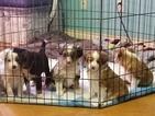 Border-Aussie Puppy For Sale in WIMBERLEY, TX, USA