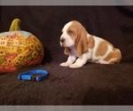 Small #9 Basset Hound