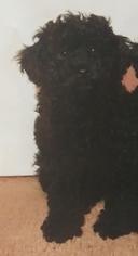 Poodle (Toy) Dog for Adoption in LA HABRA, California USA