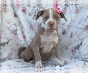 American Bully Puppy for sale in LAKELAND, FL, USA
