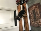German Shepherd Dog Puppy For Sale in RALEIGH, NC, USA