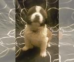 Puppy 7 Saint Bernard