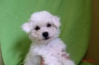 Bichon Frise Puppy For Sale in PATERSON, NJ
