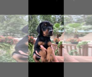 Doberman Pinscher Puppy for sale in LIVINGSTON, LA, USA