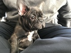 French Bulldog Puppy For Sale in BRASELTON, GA, USA