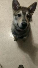 Alaskan Malamute Puppy for sale in PURYEAR, TN, USA
