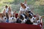 Pembroke Welsh Corgi Puppy For Sale in GREENVILLE, OH, USA