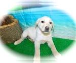 Small #1 Collie-Labrador Retriever Mix