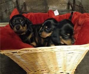 Dachshund Puppy for sale in COTTONDALE, FL, USA