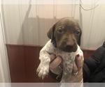 Puppy 2 German Shorthaired Pointer