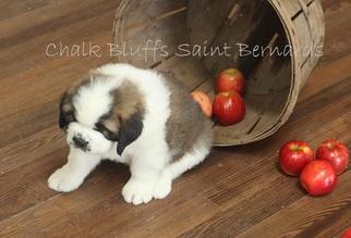 Puppyfinder com: Saint Bernard puppies puppies for sale near