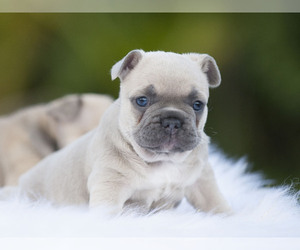 View Ad French Bulldog Puppy For Sale Near Florida Lox