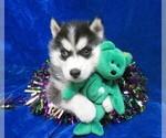 Puppy 4 Siberian Husky