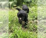 Puppy 6 Sheepadoodle