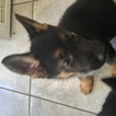 German Shepherd Dog Puppy For Sale in WARREN, MA