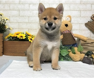 Shiba Inu Puppy for sale in SACRAMENTO, CA, USA