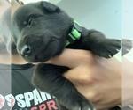 Puppy 6 Malinois