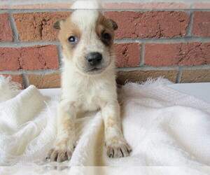 Australian Cattle Dog Puppy for sale in CHICAGO, IL, USA