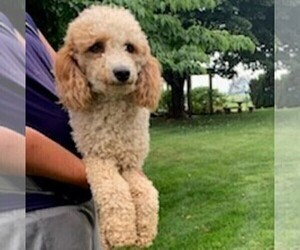 Father of the Goldendoodle-Poodle (Miniature) Mix puppies born on 10/22/2020