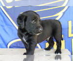 Small Photo #6 Double Doodle Puppy For Sale in FREDERICKTOWN, MO, USA