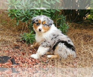 Australian Shepherd Puppy for sale in CHULA VISTA, CA, USA
