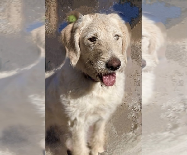 Medium Photo #7 Labradoodle Puppy For Sale in PAW PAW, MI, USA