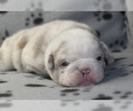 Puppy 2 Bulldog