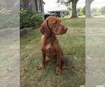 Small Photo #3 Vizsla-Weimaraner Mix Puppy For Sale in KILLEN, AL, USA