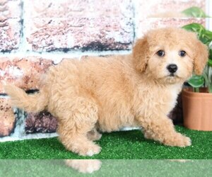 Poochon Dog for Adoption in BEL AIR, Maryland USA