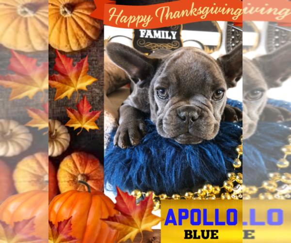 Medium Photo #1 French Bulldog Puppy For Sale in HEATHROW, FL, USA
