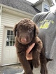 Labradoodle Puppy For Sale in LONDON, KY, USA