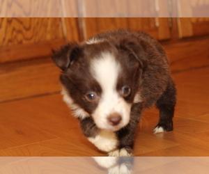 Australian Shepherd Puppy for sale in SPENCER, TN, USA