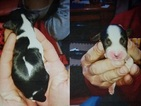 English Springer Spaniel Puppy For Sale in SHERBURN, MN