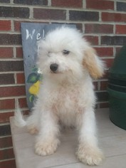 Cavalier King Charles Spaniel-Poodle (Toy) Mix Puppy For Sale in EAST EARL, PA