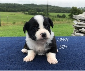 Miniature Australian Shepherd Puppy for Sale in BATESVILLE, Arkansas USA