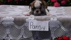 English Bulldog Pansy